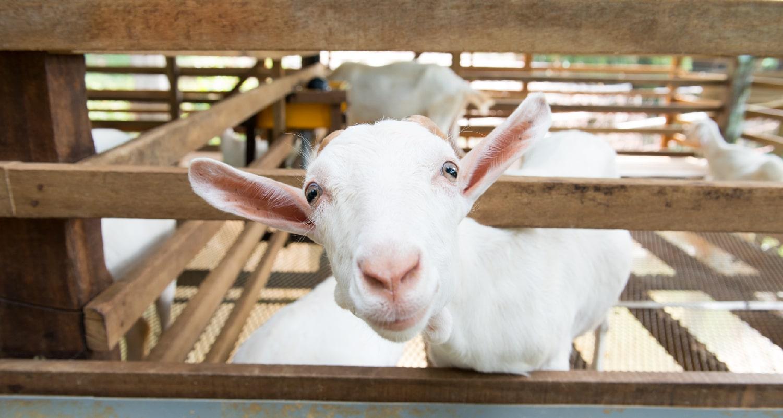 Choosing the Best Goat Milk Formula